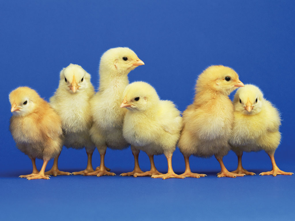 Image result for Think spring order your chicks