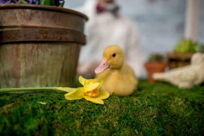 Silver Orchid Photography Easter Spring Fling Ducklings